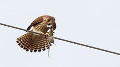 Lunch Time (Bill G Moore) Tags: naturephotography birdofprey americankestrel billmoore falcon raptor wild wildlife mouse