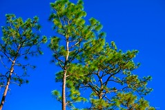 Pine Tree Sky (surfcaster9) Tags: blue sky pine tree outdoors nature lumixg7 florida panasonic