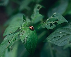 I like to Walk about Amidst the Beautiful things that Adorn the World~!! 🍃🐞 #tuesday #morning #ladybug #insects #leaf #plant #nature #canon #click #i #like #walk #amidst #beautiful #things #adorn #the #world #quote #smile #life #love (Gillaniez) Tags: tuesday morning ladybug insects leaf plant nature canon click like walk amidst beautiful things adorn world quote smile life love