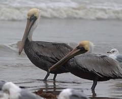 Brown Pelican (1krispy1) Tags: pelican brownpelican texasbirds