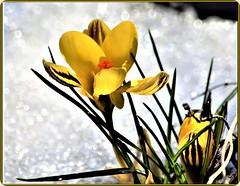 Spring is coming (Ioan BACIVAROV Photography) Tags: paris natura nature green flower flowers fleur fleurs floare flori season anotimp