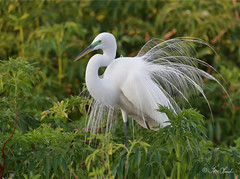 Great Egret (TomLamb47) Tags: nature wildlife bird greg great egret breeding plummage bushes feather gatorland orlando florida fl canon 1d4 100400mm