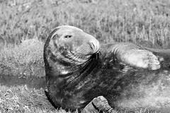 Grey Seal (Bull) B&W (R.Miller1979) Tags: donnanook greyseal wildlife wildlifetrust lincolnshire sea beach coast nature environment mammal brown green winter naturereserve