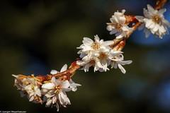 Botanischer Garten - Zaghaft zeigen sich erste Blüten (J.Weyerhäuser) Tags: botanischergarten mainz winter