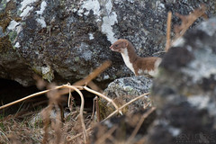 Weasel (Ben Locke.) Tags: weasel wild wildlife nature scotland findhorn