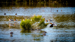 Morning On The Pond - Explored February 18, 2019  #296 (playful_i) Tags: avocet gwr gilbert riparian birds bush community flight nature plant pond reflections water wildlife