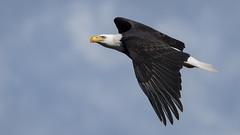 Apex Avian (TW Olympia) Tags: bald eagle