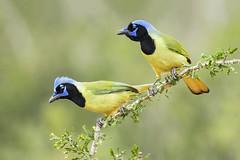 Green jays (tinahay) Tags: riograndevalley birds alamo texas nature santaclararanch