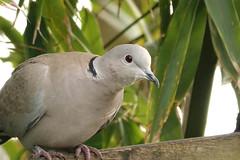 Collared dove (hedgehoggarden1) Tags: collareddove bird wildlife animal creature nature sonycybershot gardenbird gardenwildlife norfolk eastanglia uk rspb birds sony dove