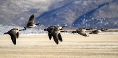 Fly Away Home (luminous__photography) Tags: wildlife nature naturephotography canadiangeese canadian klamath falls birds migration snowgeese outdoors sunset nationalparks animals landscape