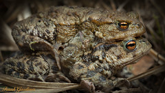 Mating Toads (Frank Gardiner- No Awards Please-Comments Welcome) Tags: toads bufobufo mating