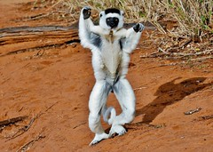 Leaping Lemur - Verreaux's Sifaka Hopping (Susan Roehl) Tags: •madagascar2017 largeislandoffthecoastofafrica lemur verreauxssifaka propithicusverrauxi endemictoisland portrait jumping patternoflocomotion 101speciesandsubspecies mediumsized indriidaefamily varietyofhabitats rainforest deciduousdryforests thicksilkyfur longtail arborealexistence smalltroops foursubspecies generally18yearsold sueroehl photographictours naturalexposures panasonic lumixdmcgh4 100400mmlens animal mammal herbivore coth5 ngc