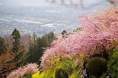 Slope (tez-guitar) Tags: slope cherryblossom cherry blossom bloom flowers spring mustard field land landscape pentax pentaxart sigma macro