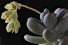 Flowering Moonstones (Pachyphytum oviferum)