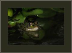 Fazzad-6D-2019-02-05-55503 8x12 wl (Fuad Azzad) Tags: costarica frog rana rã forreris forreri nature naturaleza natureza animal fauna noite noche night water agua aqua