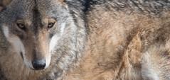 Lo sguardo del lupo (Vassili Balocco) Tags: lupo wolf parconazionale nationalpark abruzzo lazio molise fauna wildlife natura nature outdoors