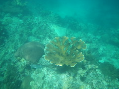 fish and coral - Anse Chastanet, St Lucia (h_savill) Tags: 2019 february feb holiday travel vacation tourist trip explore worldwide st lucia caribbean antilles windward isle soufriere piton view landscape beach sea water marine anse chastanet ansechastanet sand ocean snorkel underwater life fish boat stlucia