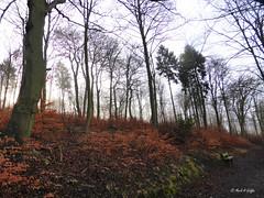 Mist along the ridge (mark.griffin52) Tags: england buckinghamshire wendoverwoods beechwood beech countryside mist trees forest woodland