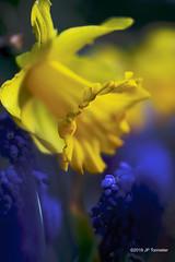 Couleurs de printemps (jpto_55) Tags: fleur jonquille muscari macro bokeh jeune bleu xt20 fuji fujifilm omlens om50mmf2macro hautegaronne france