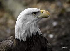 Bald Eagle (jt893x) Tags: 150600mm baldeagle d500 eagle haliaeetusleucocephalus jt893x nikon nikond500 portrait raptor sigma sigma150600mmf563dgoshsms thesunshinegroup coth alittlebeauty coth5 sunrays5