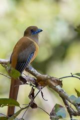 Malabar Trogon (female) Western ghats, karnataka (ganesh_hegde) Tags: birds westernghats birding nature endemic
