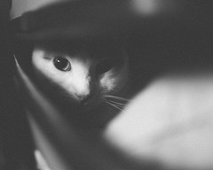 the spy (theoswald) Tags: shadows portrait gato d3300 pet eyes melo cat blackandwhite sweet kitten cute animal