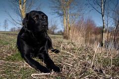enjoy (uwe.kast) Tags: labrador labradorretriever labradorredriver hund haustier dog bichou panasonic lumix leica leicadg1260f2840 g9