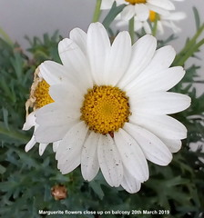 Marguerite flowers close up on balcony 20th March 2019 (Cropped) (D@viD_2.011) Tags: marguerite flowers close up balcony 20th march 2019