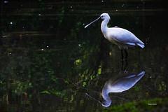 Uno specchio per la spatola. (stefano.chiarato) Tags: spatola animali uccelli acqua water reflections riflessi specchio oasisantalessio pentax pentaxk70 pentaxlife pentaxflickraward