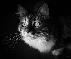 Mirada verde. (LACPIXEL) Tags: moonlight chat cat gato retrato portrait mirada regard look gaze animal mascota pet naturallight sony flickr lacpixel