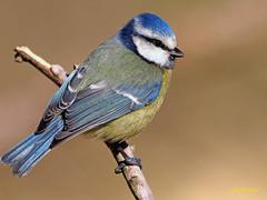Herrerillo común  (Cyanistes caeruleus) (3) (eb3alfmiguel) Tags: aves pájaros insectívoros passeriformes paridae herrerillo común cyanistes caeruleus