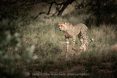 After the Hunt (Jacqueline Sinclair) Tags: africa cheetah wild cat spots predator malamala reserve protected