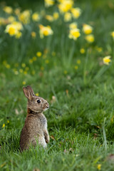 _M4A2245 (sam-reeves) Tags: essex warleyplace nature flowers rabbit animal spring