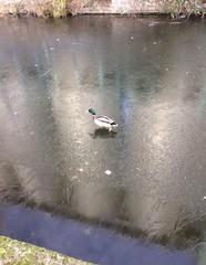 Frozen canal walking duck (Ja Curiosity) Tags: survival frozen canal duck animal bird freeze snow uk