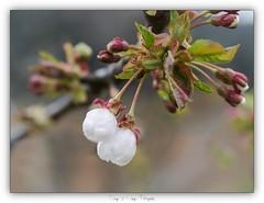Pa_4090028 (calpha19) Tags: imagesvoyagesphotography adobephotoshoplightroom olympus omd em5mkii m60macrof28 printemps 2019 flore flowers floral couleurs ngc flickrsexplore macro proxyphoto proxy grangessurvologne grandest vosges macrodreams