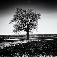 Watching out... (Ody on the mount) Tags: abendlicht anlässe bäume em5ii felder filmkorn fototour gegenlicht himmel landschaft mzuiko40150 omd olympus pflanzen silhouette sonnenuntergang wolken bw evening fields grain landscape monochrome quadratisch sw square sunset tree