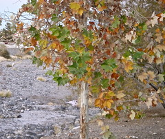 Vegas Type of Maple Tree - (Irene, W. Van. BC) Tags: vegastypeofmapletree thewash trees treesilhouettes treebranches tree alltrees leaves leaf leavesonground branches branch greenery greenleaves colours colourfulleaves grass outdoors outdoorscenes 1001nights 1001nightsmagiccity 1001nightsmagicwindow