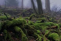 Körperwelten 2 (nordelch61) Tags: deutschland hessen heimat mittelgebirge taunus feldberg wald nebel baum bäume moos laub buchen fichten winter