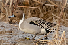 Northern Pintail Drake (tresed47) Tags: 2019 201901jan 20190107bombayhookbirds birds bombayhook canon7dmkii content delaware ducks folder january northernpintail peterscamera petersphotos places season takenby us winter