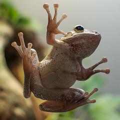 frog perspective (muman71) Tags: dsc1046 frosch makro nikon tier f4 35mm 115sec iso400 d300s