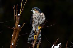 DSC_7674 Épervier (sylvette.T) Tags: animal bird oiseau rapace 2019 épervier sparrowhawk rapacious accipiternisus