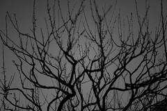 L1100903-2 (Zengame) Tags: kameidotenjin leica leicasl leicasltyp601 sl summilux summiluxsl50mmf14asph japan kameido tokyo typ601 ズミルックス ズミルックスsl ライカ 亀戸 亀戸天神 日本 東京 東京都 jp