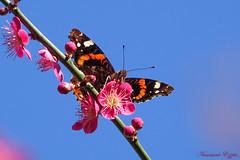 Vulcain  Vanessa atalanta ..Cru 2019 (Ezzo33) Tags: france gironde nouvelleaquitaine bordeaux ezzo33 nammour ezzat sony rx10m3 parc jardin papillon papillons butterfly butterflies specanimal vulcain vanessaatalanta