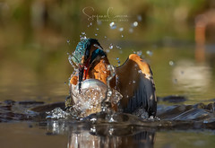 HUNGRY (Stephen Hunt61) Tags: animals wildlife caught capture bird fishing action motion nature close kingfisher natural