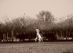 _DSC0667 (chris30300) Tags: camargue cheval
