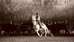 _DSC0673 (chris30300) Tags: camargue cheval