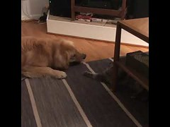 Cats and Dog Playing in The Saturday Night (tipiboogor1984) Tags: aww cute cat funny dog youtube