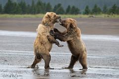 _HB32688 (Hilary Bralove) Tags: lakeclarknationalparkbrownbearsbearsalaskanikonwildlifegrizzlygrizzlybearbrownbearanimalswildlifephotographer alaksa brownbears grizzlybears bear bears grizzly brownbeargrizzly bearlake clarkwildlifealaska wildlifenikonlake clark national park