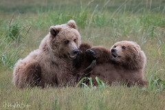 _HB30348 (Hilary Bralove) Tags: lakeclarknationalparkbrownbearsbearsalaskanikonwildlifegrizzlygrizzlybearbrownbearanimalswildlifephotographer alaksa brownbears grizzlybears bear bears grizzly brownbeargrizzly bearlake clarkwildlifealaska wildlifenikonlake clark national park