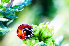 coccinelle 9 (joel.queyrel) Tags: coccinelle ladybird